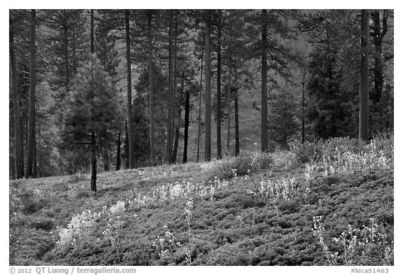 Wildflowers and trees above Lewis Creek. Kings Canyon National Park (black and white)