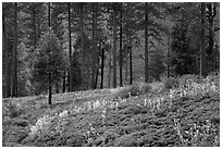Wildflowers and trees above Lewis Creek. Kings Canyon National Park ( black and white)