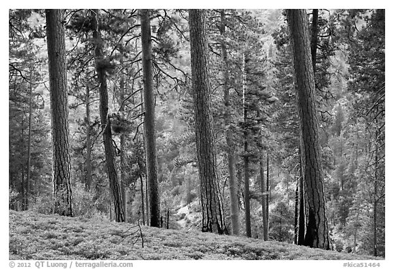 Pine trees, Lewis Creek. Kings Canyon National Park (black and white)
