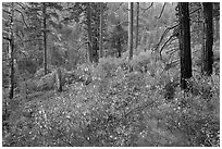 Forest scene, Lewis Creek. Kings Canyon National Park, California, USA. (black and white)