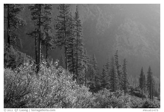 Trees and canyon walls, late afternoon. Kings Canyon National Park (black and white)
