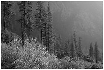 Trees and canyon walls, late afternoon. Kings Canyon National Park ( black and white)