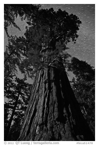 Moonlit sequoia and star trails. Kings Canyon National Park (black and white)