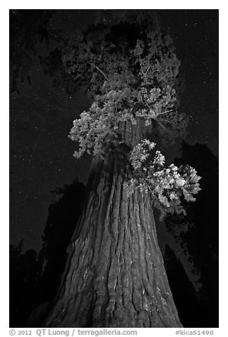 Giant Sequoia tree and night sky. Kings Canyon National Park (black and white)