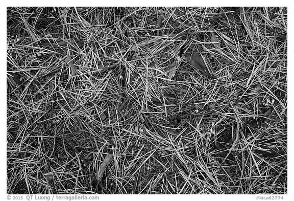 Close-up of fallen needles and chunks of wood. Kings Canyon National Park (black and white)
