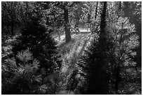 Backlit sapplings bordering meadow. Kings Canyon National Park ( black and white)