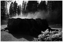 Fog rising from Mark Twain Stump. Kings Canyon National Park ( black and white)