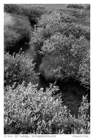 Shrubs in fall foliage along stream. Lassen Volcanic National Park (black and white)