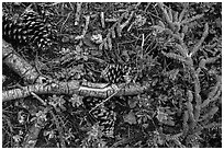 Ground close-up of forest floor. Lassen Volcanic National Park ( black and white)