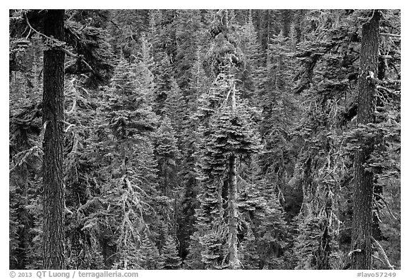 Conifer forest. Lassen Volcanic National Park (black and white)