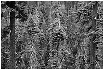 Conifer forest. Lassen Volcanic National Park ( black and white)