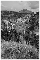 Rabbitbrush in bloom, forested valley, and Lassen Peak. Lassen Volcanic National Park ( black and white)