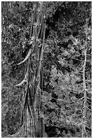 Weathered incense cedar trunk. Lassen Volcanic National Park ( black and white)