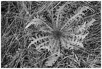 Grasses and dandelion. Lassen Volcanic National Park ( black and white)