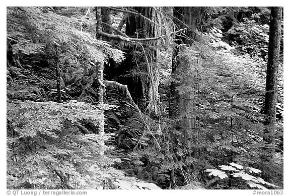 Foliage, Carbon rainforest. Mount Rainier National Park (black and white)