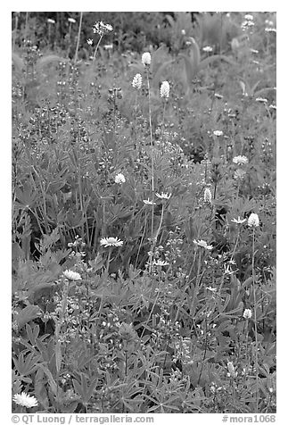 Wildflowers at Paradise. Mount Rainier National Park (black and white)