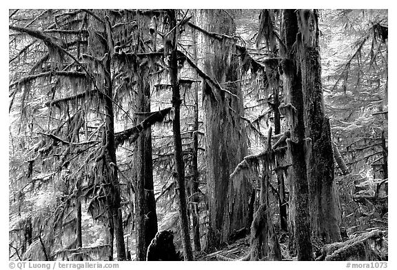 Carbon rainforest. Mount Rainier National Park (black and white)