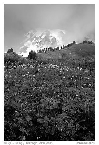 Lupine and Mt Rainier shrouded in fog from Paradise. Mount Rainier National Park (black and white)