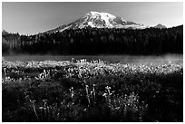Carpet of summer flowers, Reflection Lake, and Mt Rainier, sunrise. Mount Rainier National Park, Washington, USA. (black and white)