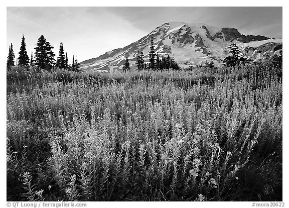 Field of pink flowers and Mount Rainier, late afternoon. Mount Rainier National Park (black and white)