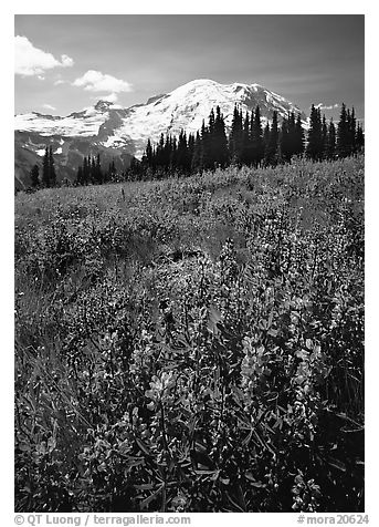 Lupines and Mt Rainier from Sunrise, morning. Mount Rainier National Park (black and white)