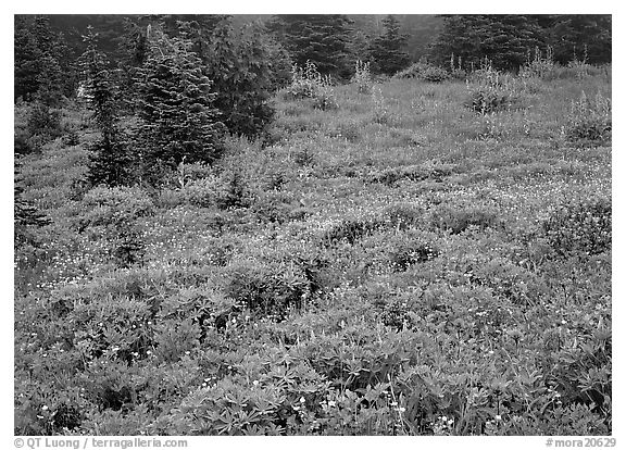 Meadow with wildflowers and fog, Paradise. Mount Rainier National Park (black and white)