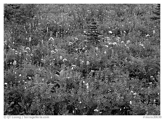 Meadow detail with multicolored wildflower carpet, Paradise. Mount Rainier National Park (black and white)