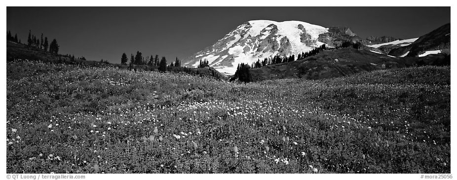 Wildflower meadow and snow-capped mountain. Mount Rainier National Park (black and white)