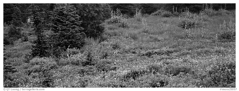 Meadow, wildflowers, and conifers. Mount Rainier National Park (black and white)