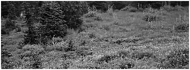 Meadow, wildflowers, and conifers. Mount Rainier National Park (Panoramic black and white)