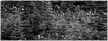 Bear grass and connifers. Mount Rainier National Park (Panoramic black and white)