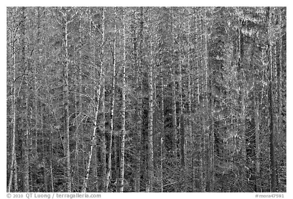 Bare trees and hanging lichen. Mount Rainier National Park (black and white)