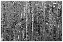Bare trees and hanging lichen. Mount Rainier National Park ( black and white)