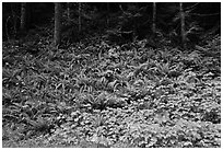 Ferns on forested slope, Westside. Mount Rainier National Park ( black and white)