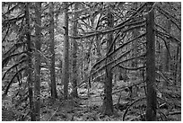 Trees with moss-covered branches. Mount Rainier National Park ( black and white)