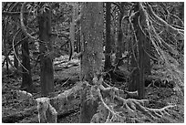 Westside rainforest. Mount Rainier National Park ( black and white)