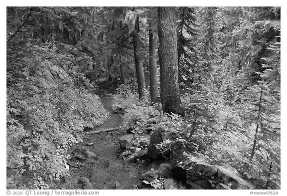 Trail and forest , Van Trump creek. Mount Rainier National Park (black and white)