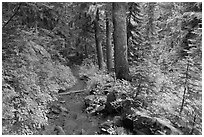 Trail and forest , Van Trump creek. Mount Rainier National Park, Washington, USA. (black and white)