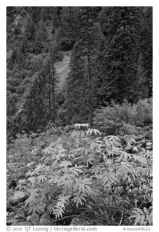 Shrub with berries and conifer forest. Mount Rainier National Park (black and white)