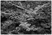 Shrubs in autumn color growing on talus slope. Mount Rainier National Park ( black and white)