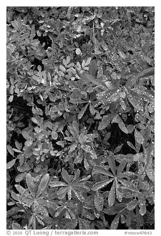 Berry leaves with water droplets. Mount Rainier National Park (black and white)