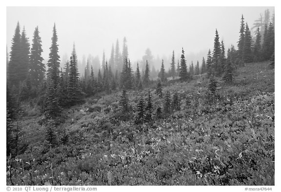 Foggy alpine meadows in autumn. Mount Rainier National Park (black and white)