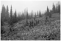 Foggy alpine meadows in autumn. Mount Rainier National Park ( black and white)
