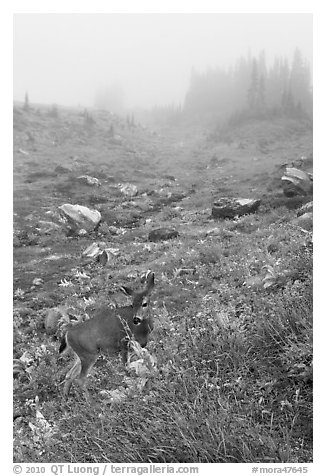 Deer in foggy alpine meadows, Paradise. Mount Rainier National Park (black and white)