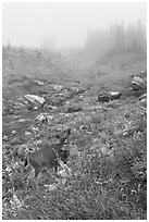 Deer in foggy alpine meadows, Paradise. Mount Rainier National Park, Washington, USA. (black and white)