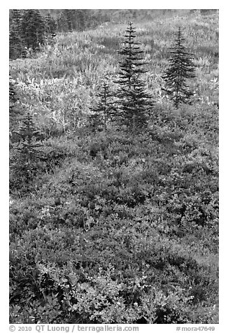 Alpine meadaw with berry plants in autumn color. Mount Rainier National Park (black and white)