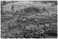 Berry plants and conifers in fall, Paradise Meadows. Mount Rainier National Park, Washington, USA. (black and white)