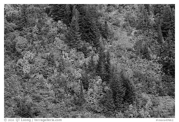 Slope with conifers and vine maples in autumn. Mount Rainier National Park (black and white)