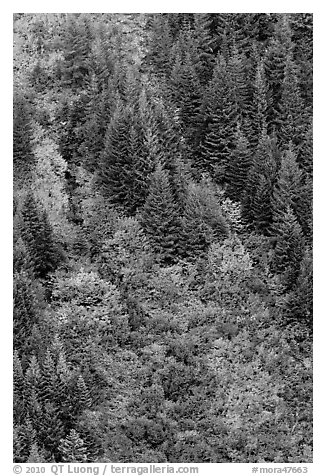 Slope with conifers and shrubs in fall color. Mount Rainier National Park (black and white)