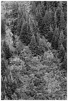 Slope with conifers and shrubs in fall color. Mount Rainier National Park, Washington, USA. (black and white)